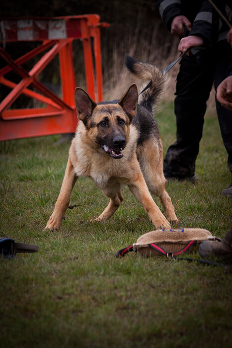 What Is A K9 Dog K9 Dog Breeds Training Duties Mec Security
