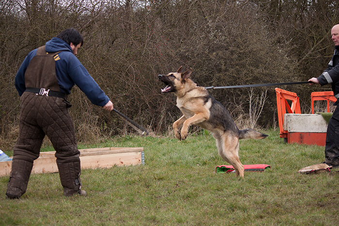 Trained Guard Dogs To Protect Other Dogs