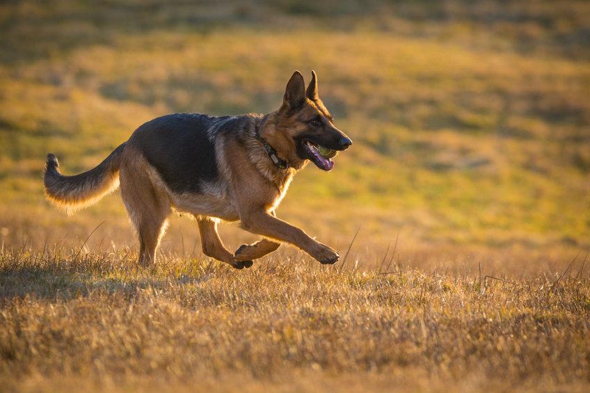 How Fast Can a German Shepherd Run